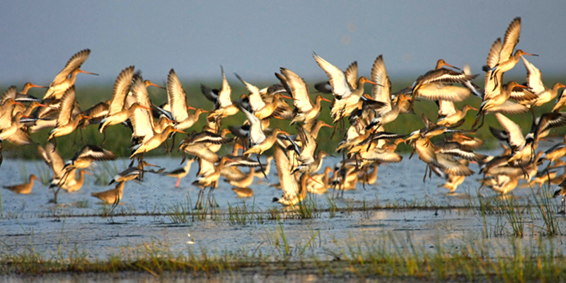 Mangalajodi A winter home of Migratory Birds