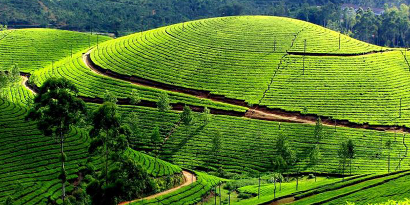 Conoor Tea Estate