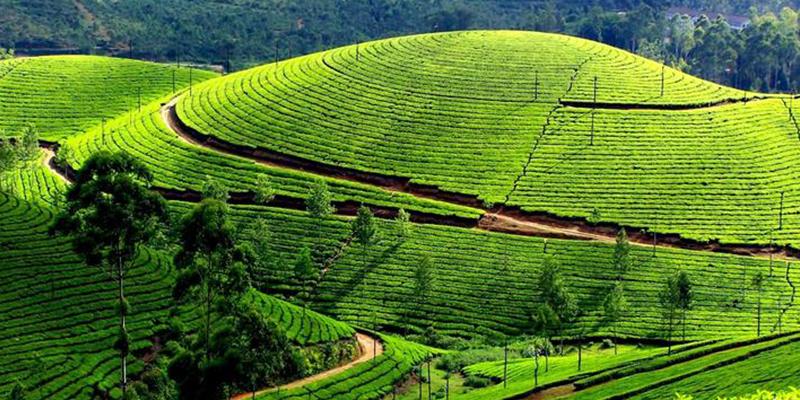 Conoor Tea Estate