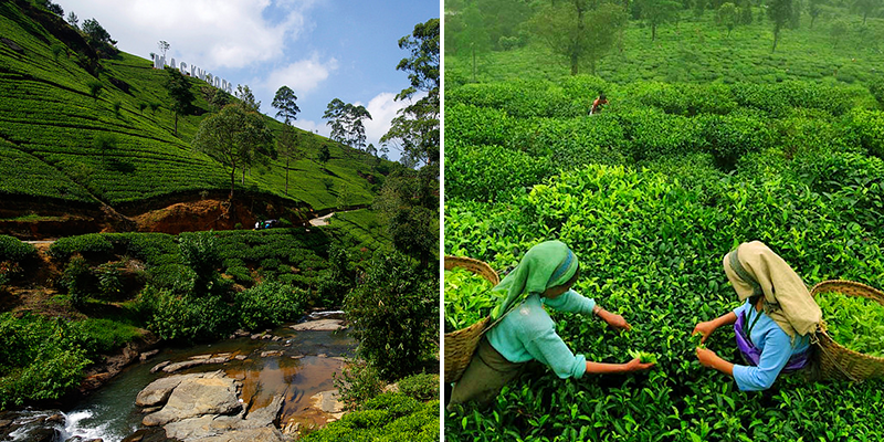 Darjeeling Tea Tourism