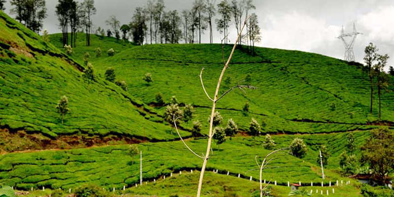 Palampur Tea Estate