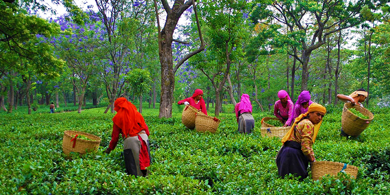 Tea plantations in Palampur