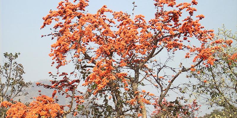 Palash-Flower