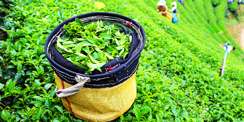Go tea-tour in Monsoon