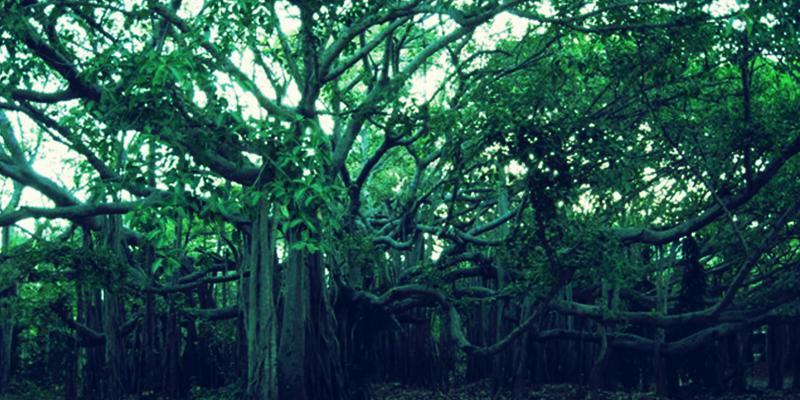 Adyar banyan tree