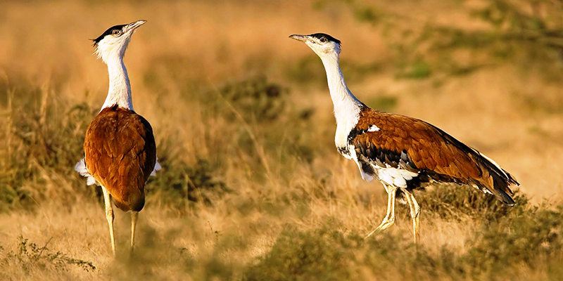 Kutch Great Indian bustard