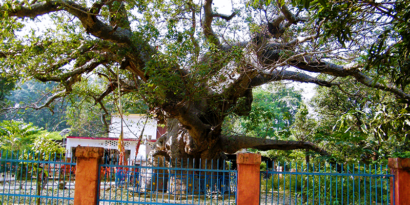 Parijaat Tree in kintur village