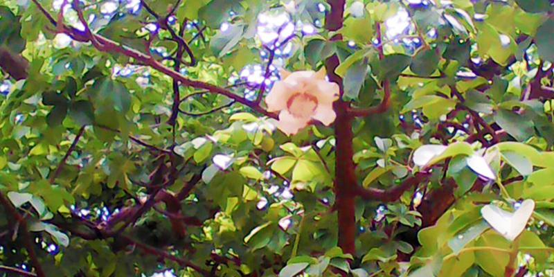 parijaat tree associated with lord krishna