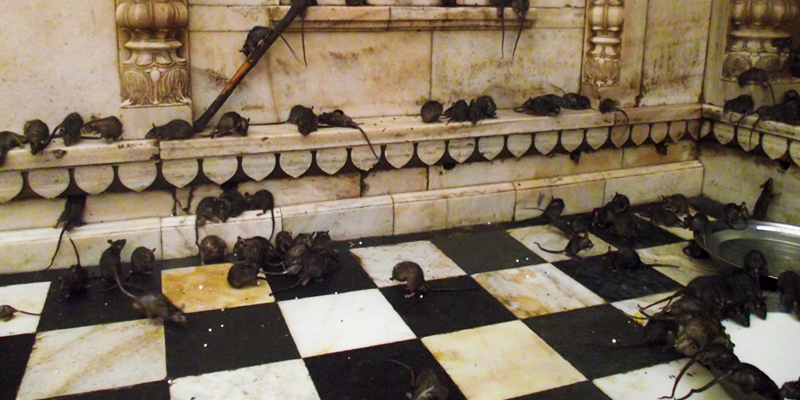 rat infested Karni Mata temple