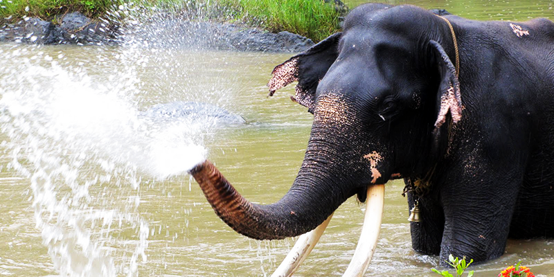 Monsoon Spa for elephants – A continuing legacy in Kerala