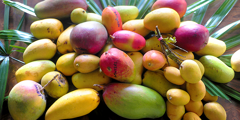 Indian Mango Varieties Pictures