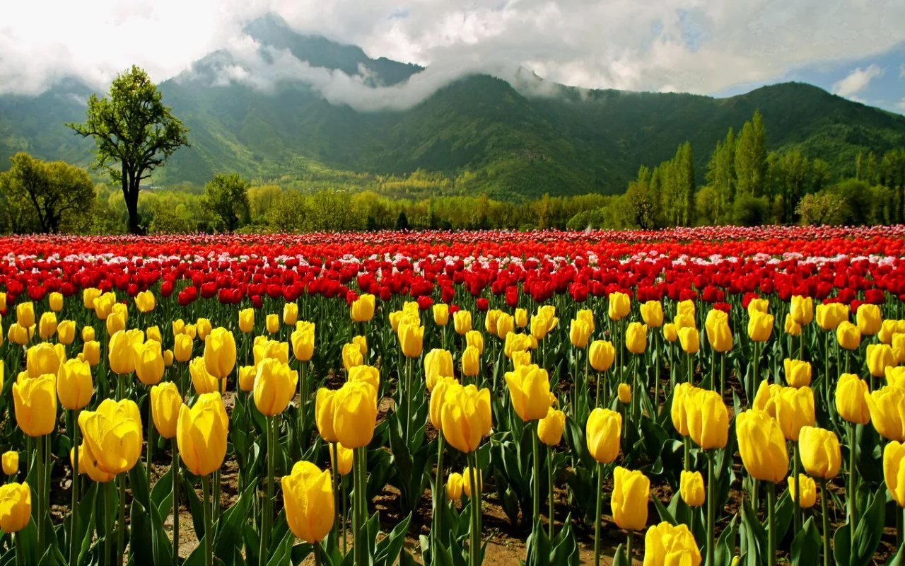 Experience a rainbow of colours at kashmir tulip festival tulip gardens in kashmir izmirmasajfo