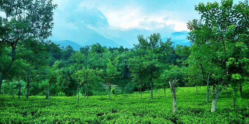Palampur Tea estate
