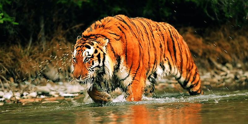 Sundarban tigers